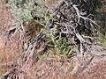 Cirsium canovirens (C. subniveum) (4045103645).jpg