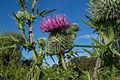 Cirsium vulgare (20152750445).jpg