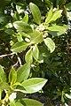 Citrus Hedging Alvor Portugal 24.02.16 (25239860075).jpg