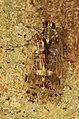 Cixiid Planthopper - Melanoliarus placitus, Meadowood Farm SRMA, Mason Neck, Virginia.jpg