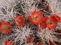 Claret-cup cactus (Echinocereus mojavensis) (14045730988).jpg
