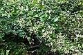Clematis virginiana SCA-0294.jpg