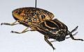 Click Beetle (Lycoreus madagascariensis) (8565103328).jpg
