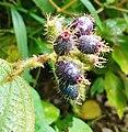 Clidemia hirta - fruits.jpg