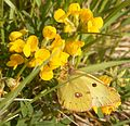 Clouded Yellow (3496436613).jpg