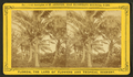 Cocoanut (Coconut) trees showing fruit, from Robert N. Dennis collection of stereoscopic views 2.png