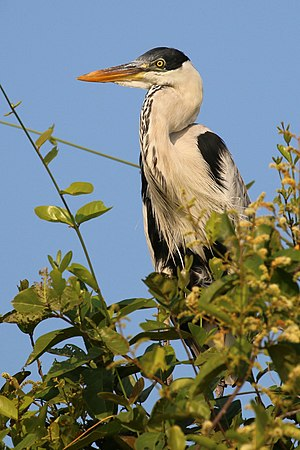 Cocoi heron - in the Pantanal, Brazil