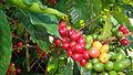 Coffee ripens on a bush.jpg