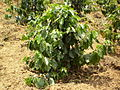 Coffee tree arabica.jpg