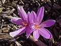 Colchicum bornmuelleri 002.JPG