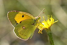 Colias.croceus.male.jpg