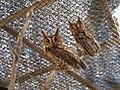Collared Scops Owl in NEO PARK OKINAWA, Japan.jpg