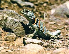 Collared lizard in Zion National Park.jpg