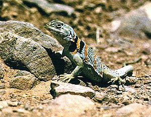 Common collared lizard Collared lizard in Zion National Park.jpg