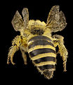 Colletes hederae, f, country unk, angle 2014-08-09-17.54.27 ZS PMax (14939760767).jpg