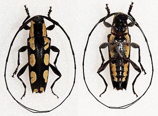 <i>Colobothea</i> genus of insects