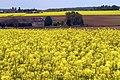 Colza Ferme du Trou Salé (Yvelines) Cl J Weber03 (23675086115).jpg