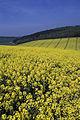 Colza Ile de France Cl jJ Weber15 (23379437680).jpg