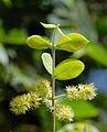 Combretum molle, bloeisels, Jan Celliers Park.jpg