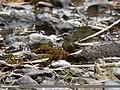 Common Crossbill (Loxia curvirostra), Naltar, Gilgit, Pakistan (36927412393).jpg