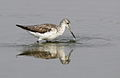 Common Greenshank, Tringa nebularia (I think) at Borakalalo National Park, South Africa (9900307706).jpg