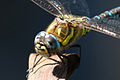 Common Hawker Dragonfly 3 (6083394766).jpg