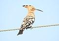 Common Hoopoe Upupa epops by Dr. Raju Kasambe DSCN1570 (3).jpg