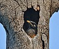 Common Myna (Acridotheres tristis)- Immature at nest in Kolkata I IMG 7877.jpg