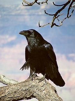 Common Raven Grand Canyon 1.jpg
