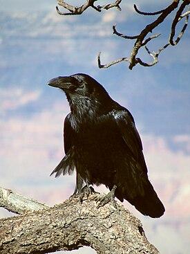 Ворон — Википедия Домен Это