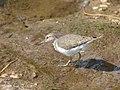 Common Sandpiper (Actitis hypoleucos), South Africa.jpg