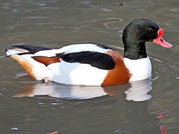 Common Shelduck (Tadorna tadorna) at Sylvan Heights.jpg