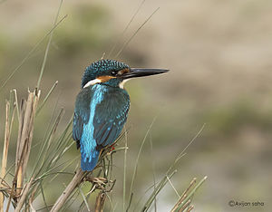 Common kingfisher - A. a. bengalensis in Siliguri