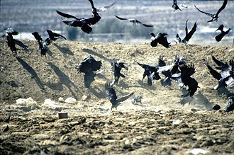 Common raven - Flock feeding at a garbage dump