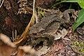 Common toad (Bufo bufo). Siverskiy.jpg