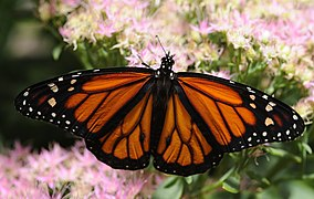 ComputerHotline - Danaus plexippus (by).jpg