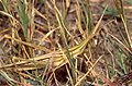 Cone-headed Grasshopper (Acrida ungarica) (36184938360).jpg