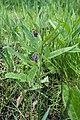 Consoude aux fleurs violettes.jpg