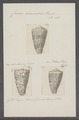 Conus araneosus - - Print - Iconographia Zoologica - Special Collections University of Amsterdam - UBAINV0274 086 01 0015.tif