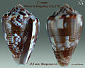 Conus catus 1.jpg