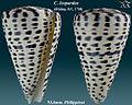 Conus leopardus 2.jpg