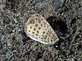 Conus litteratus (32363771831).jpg