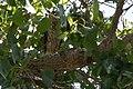 Cooper's Hawk (immature) Santa Gertrudis Lane Tubac AZ 2018-08-06 10-53-13 (44015691341).jpg