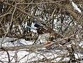 Cooper's hawk feeding on a blue jay 4.jpg