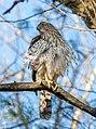 Cooper's hawk in Prospect Park (22428).jpg