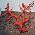 Corallium rubrum (red coral) 1 (15691074776).jpg