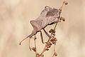 Coreus marginatus 01 (MK).jpg