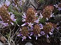 Coris monspeliensis 26.05.07.jpg