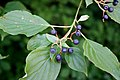 Cornus alternifolia 005.jpg