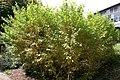 Cornus sanguinea Midwinter Fire 4zz.jpg